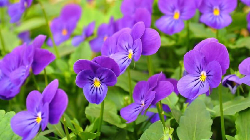 Pansies can be enjoyed for two seasons once planted.