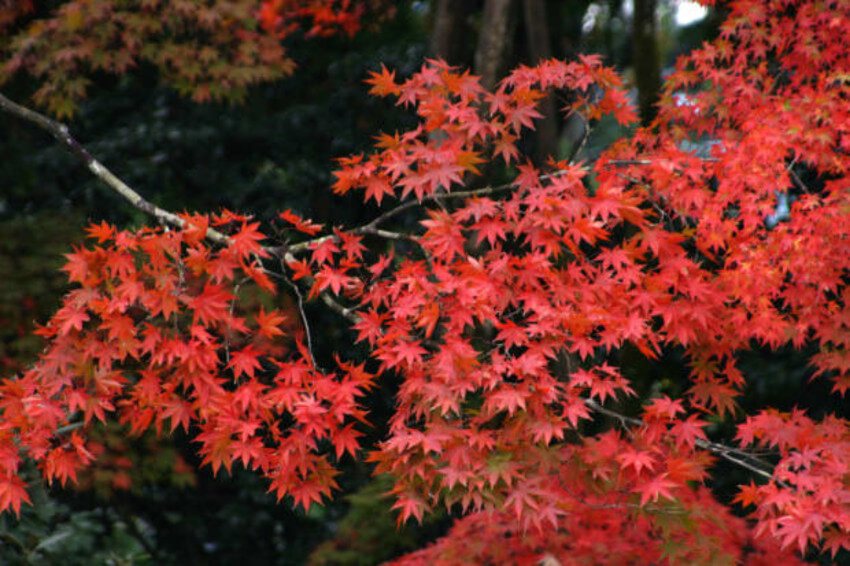 The Japanese maple is a great option to plant in the fall.