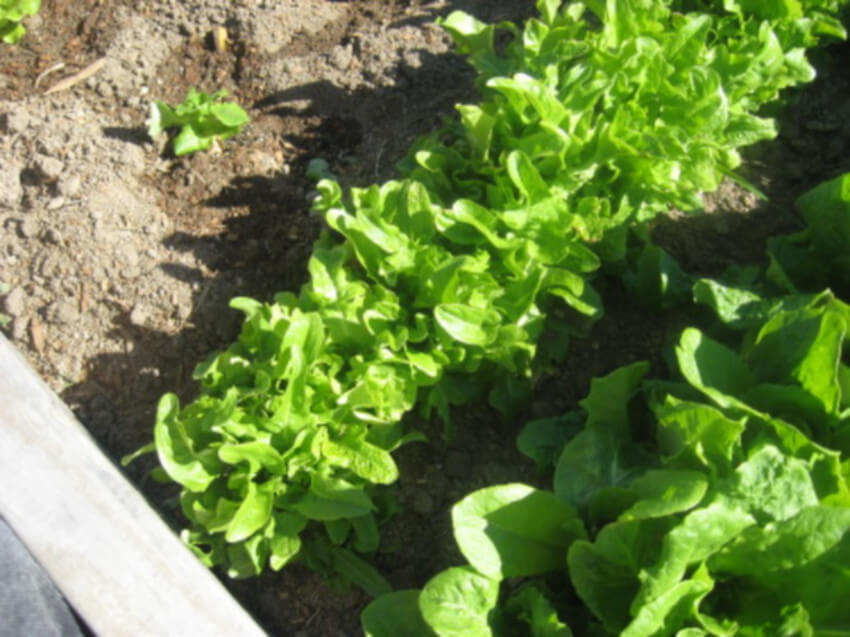 Lettuce is easy to plant and harverst, and it's delicious to eat.