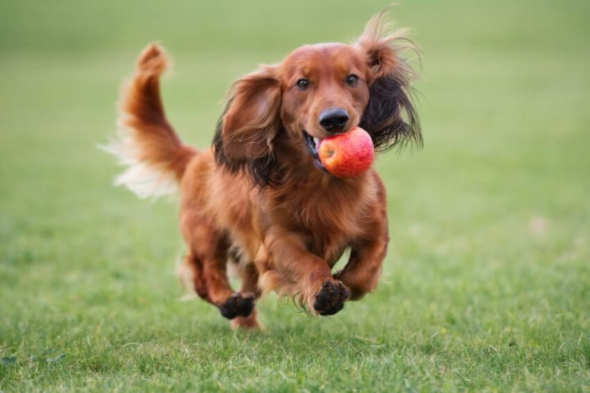 Apples are as good for dogs as they are for humans!