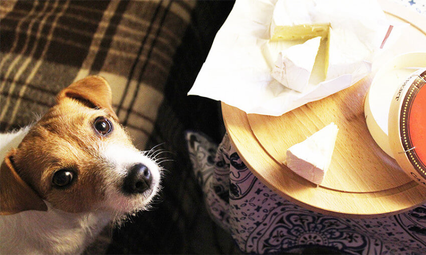Some dogs are lactose intolerant, but cheese is very good for those who aren't!