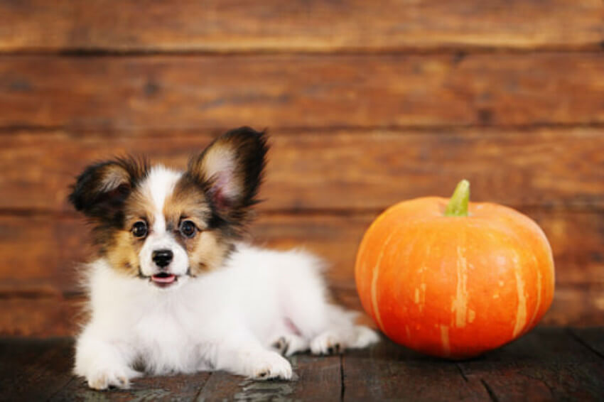 Pumpkin is awesome for dogs with sensitive stomachs!