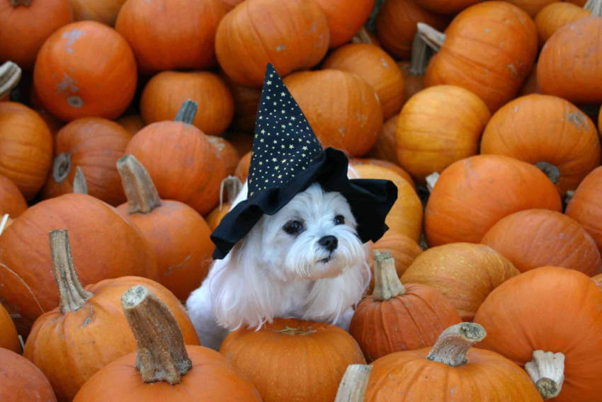 This dog in the middle of all these pumpkins just feel like home!