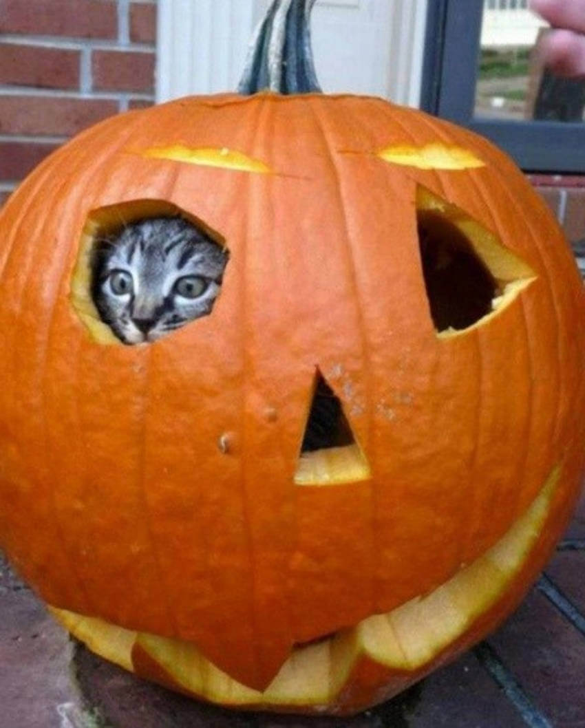 This cat inside the pumpkin is so obvious, but so funny!