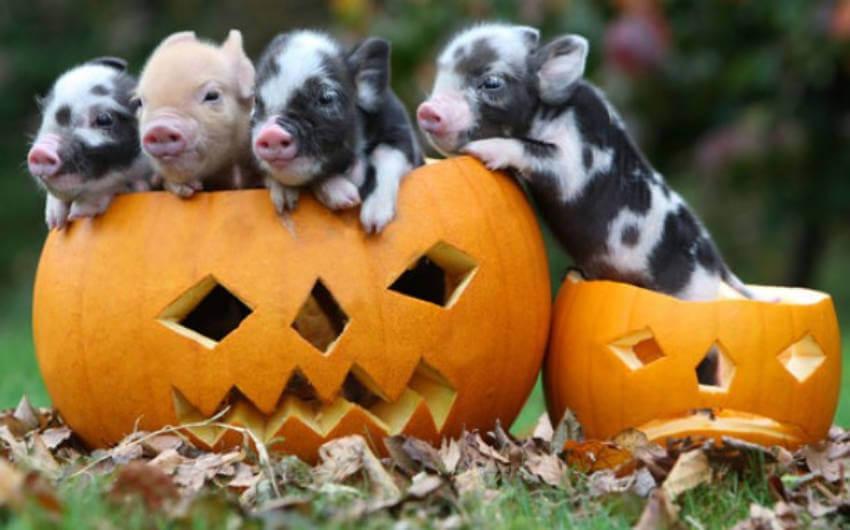 A whole family of piggies enjoying some jack o' lanterns!