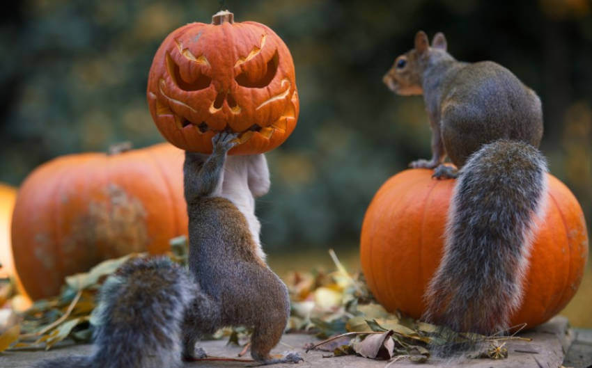 This squirrel is so awesome holding this pumpkin!