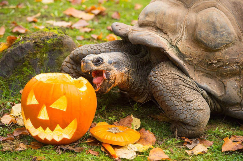 Someone gave this turtle a jumpscare and it's wanting revenge on Halloween!