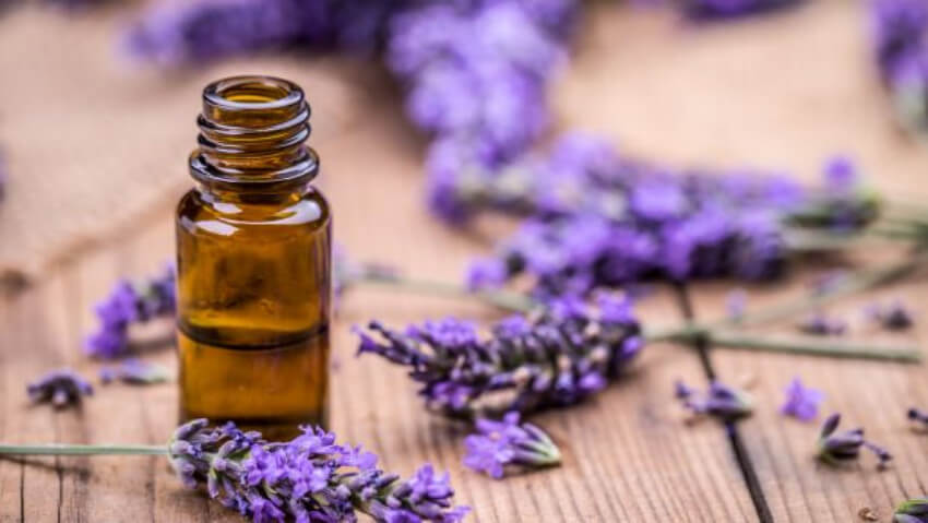 While humans love the scent of lavender, spiders and mice hate it!