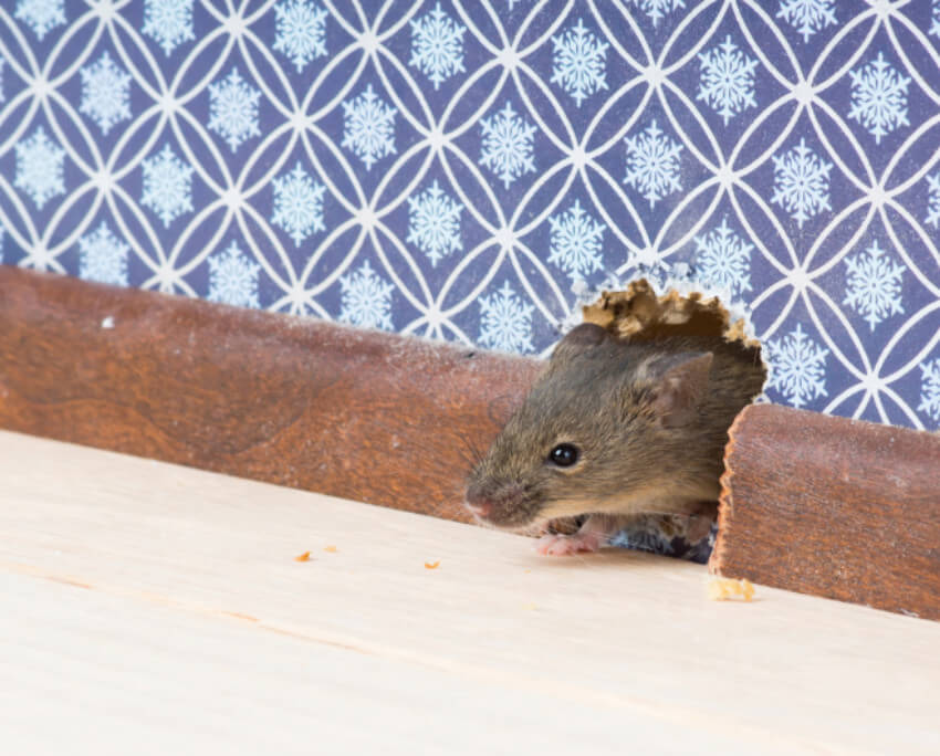Get rid of mice by confusing their sense with the scent of essential oil!