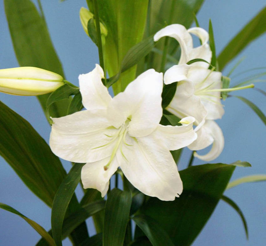 Lilies can cause gastrointestinal discomfort for dogs, so keep them out of reach!