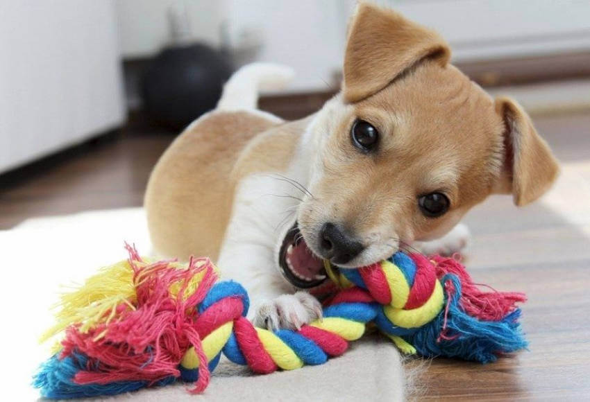 Puppy toys are important to prevent them from chewing any objects they might find lying around!
