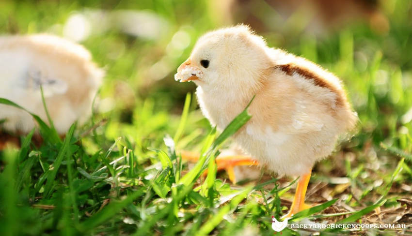 This baby chicken is just so cute!