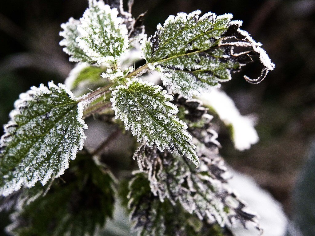 Frost on the plants might actually save them from damage in some cases