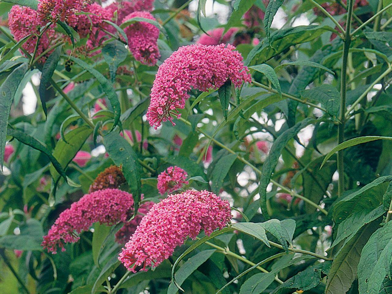Buddleias are a great way to entice the elusive creatures