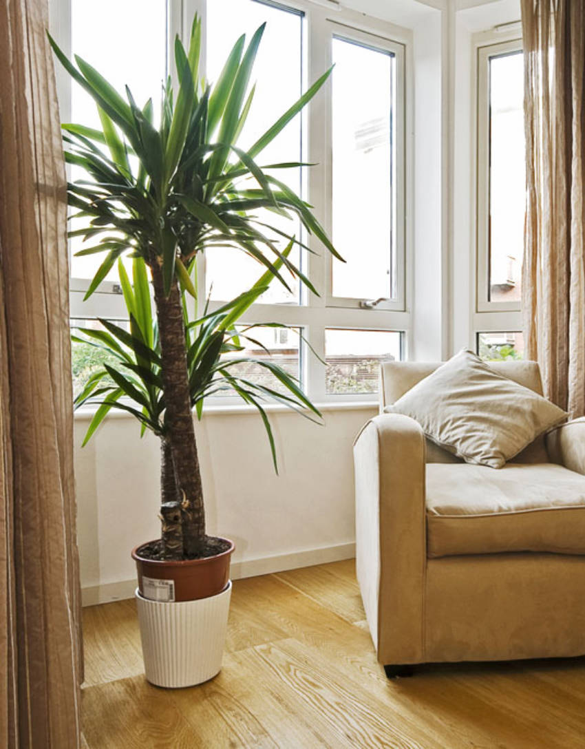 The Yucca is very easy to grow indoors!