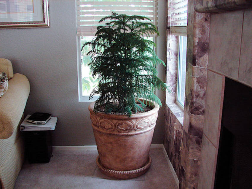 One of the most beautiful choices for indoor trees!
