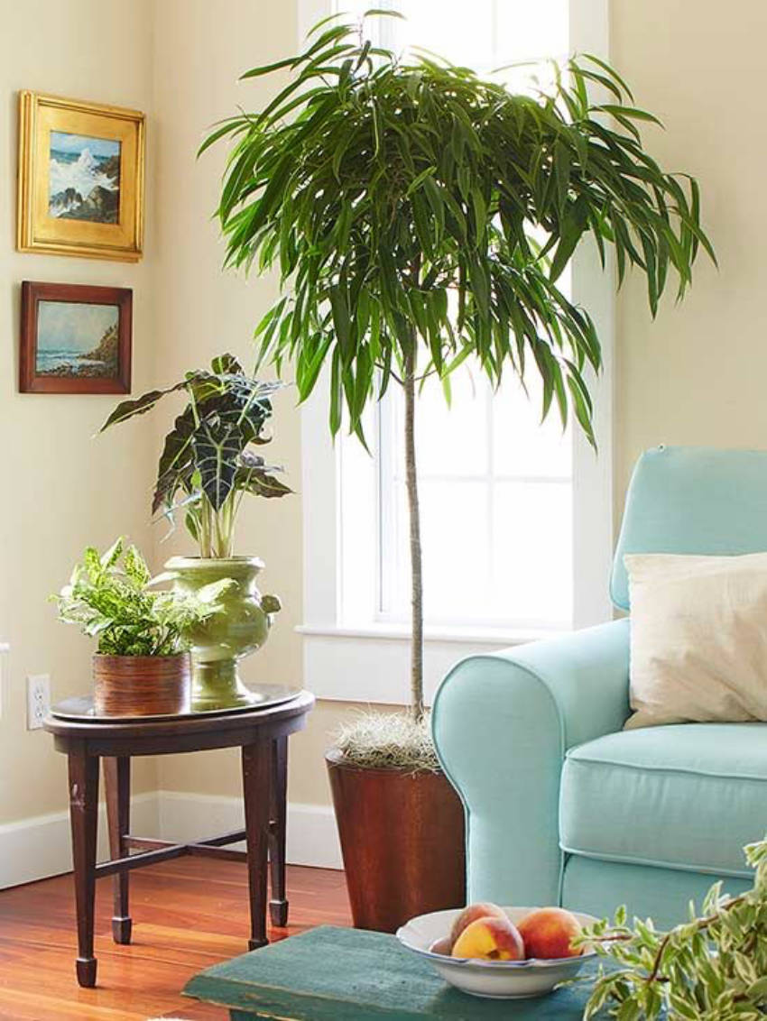 Alii ficus - beautiful indoor trees