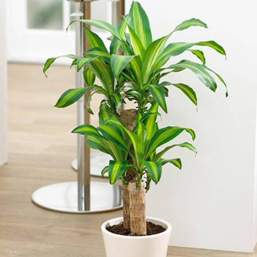 The corn plant is a lively indoor tree!