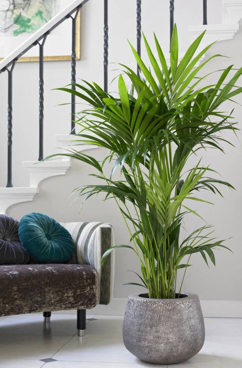 The Kentia Palm is a great indoor tree!
