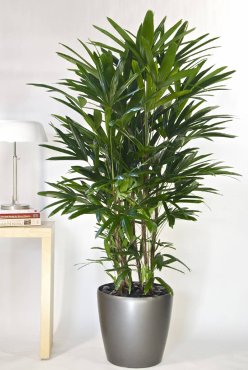 The lady palm easily adapts to most interiors!