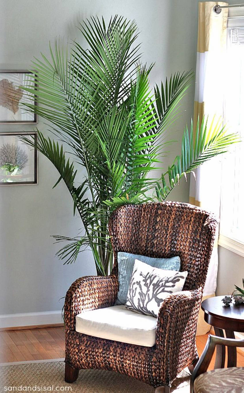 The majesty palm is an awesome addition to your home!