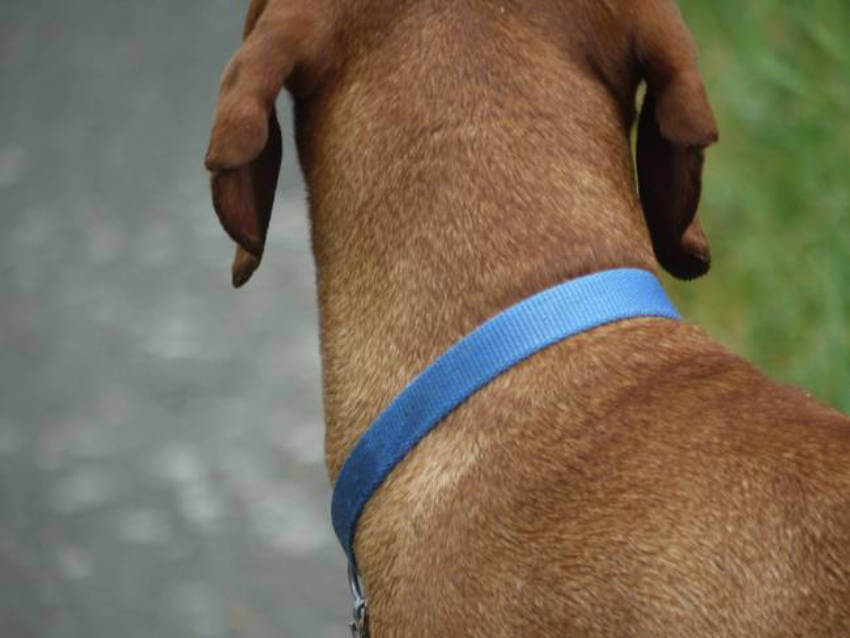 Dog collars to keep ticks off dogs are affordable and effective.