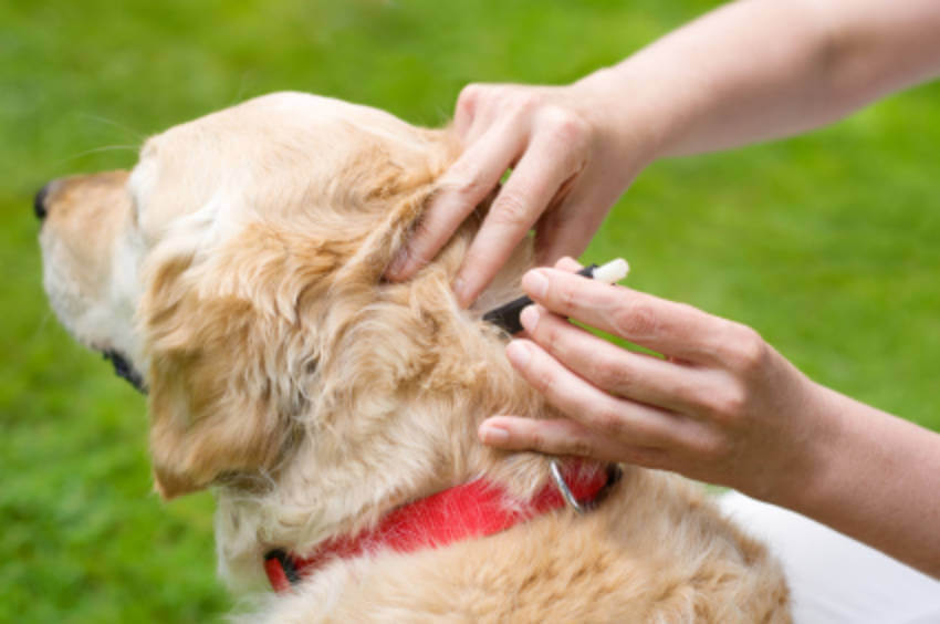 Spot-on treatment works for both ticks and fleas.