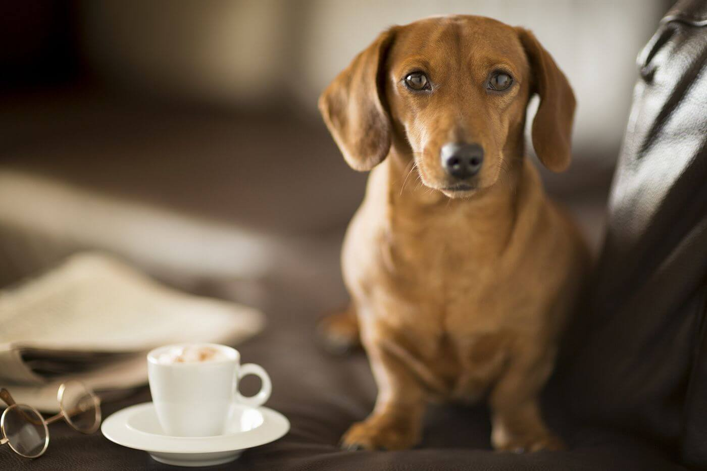 Coffee dog likes coffee