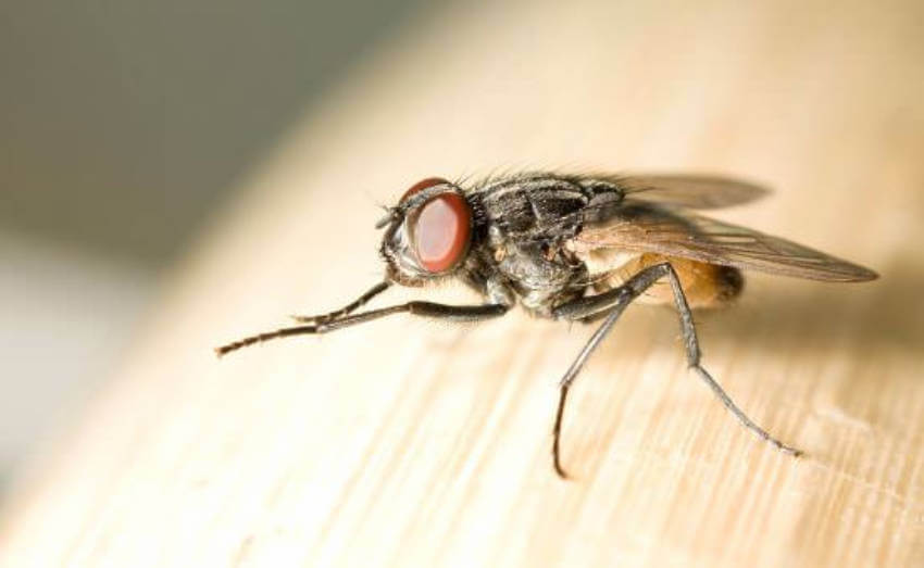 Flies spread bacteria wherever they land.