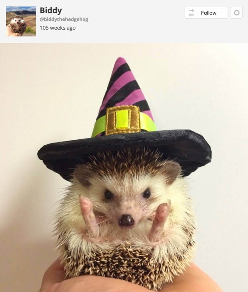 Who would think a hedgehog could pull off a witch costume?