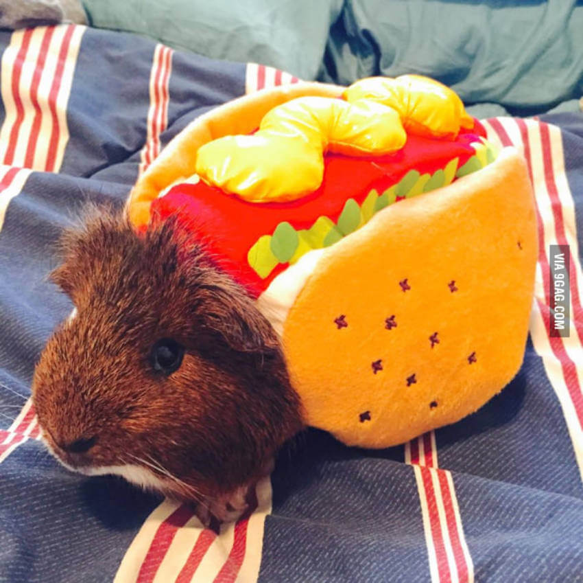 A guinea pig in a hot dog outfit just looks too adorable!