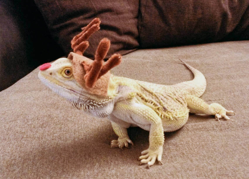 A lizard wearing a reindeer costume is something worth seeing!