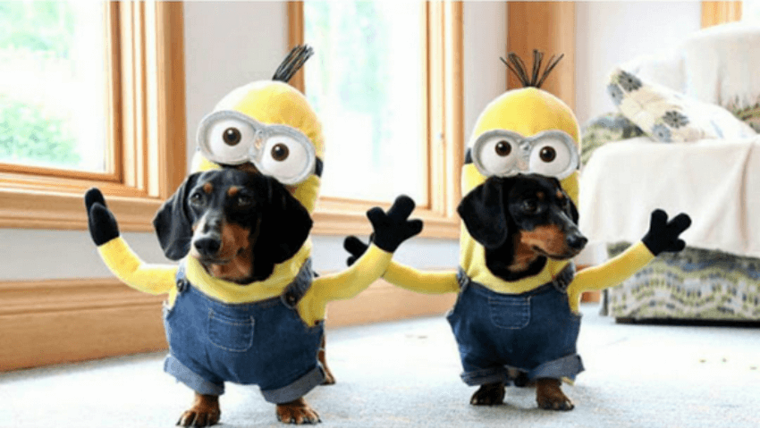 Minions to the rescue...or to the attack? These dogs are to tell!