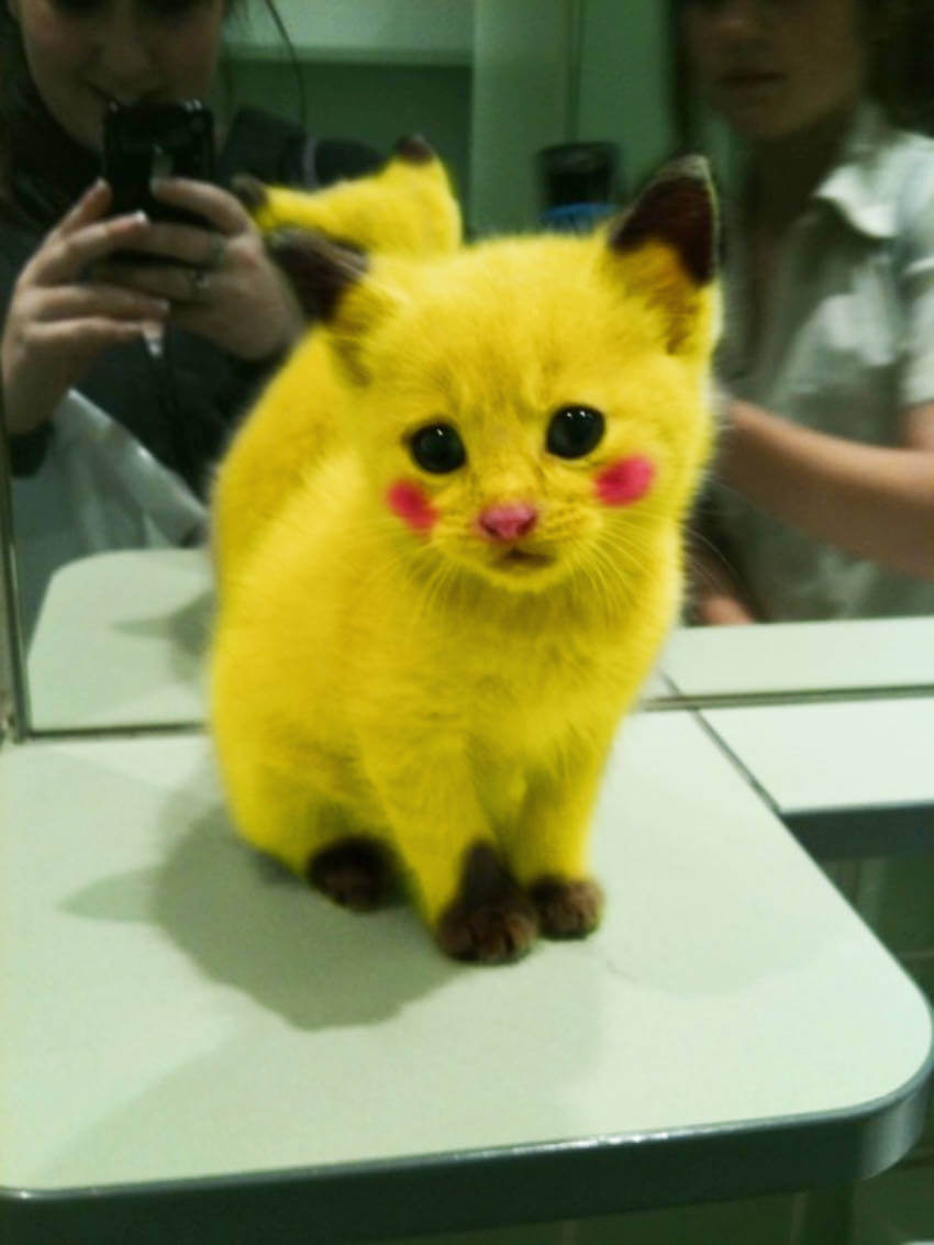 All pokemon fans can go crazy over this pikachu cat already!