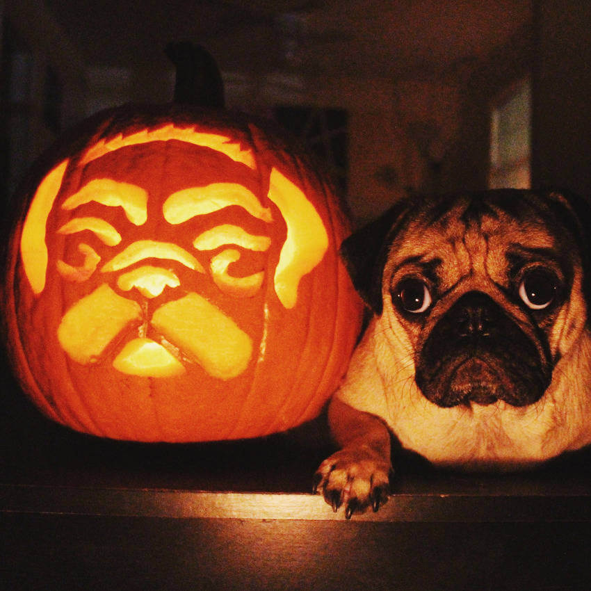 This pug's face carved in a pumpkin is just genious!