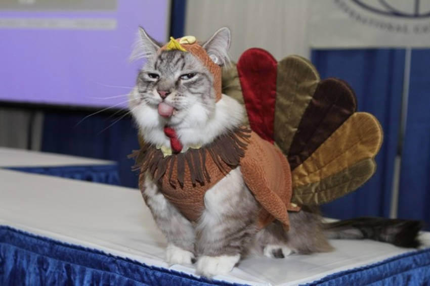 This cat sure isn't happy to be dressed up as a turkey!
