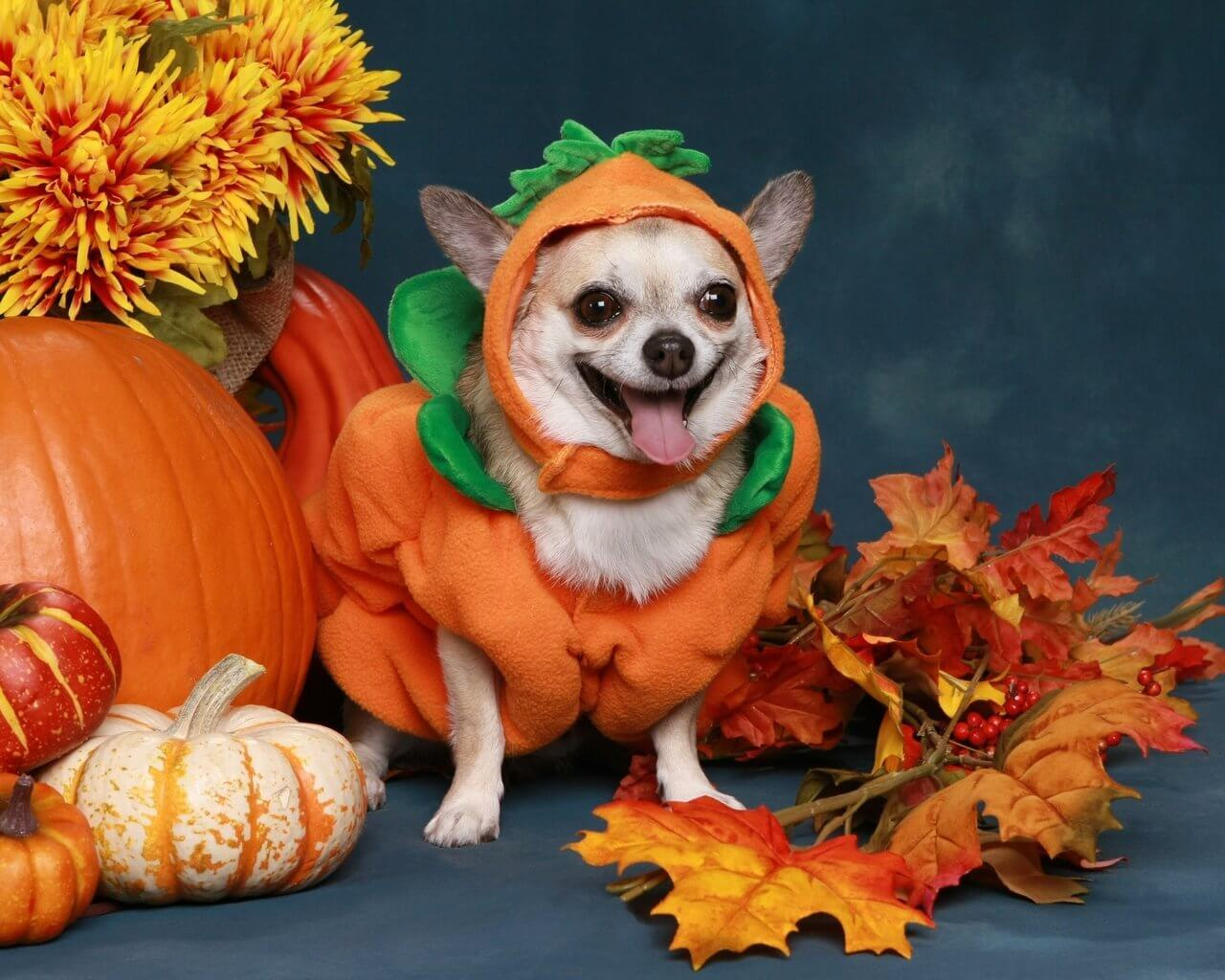 A little pumpkin doggo