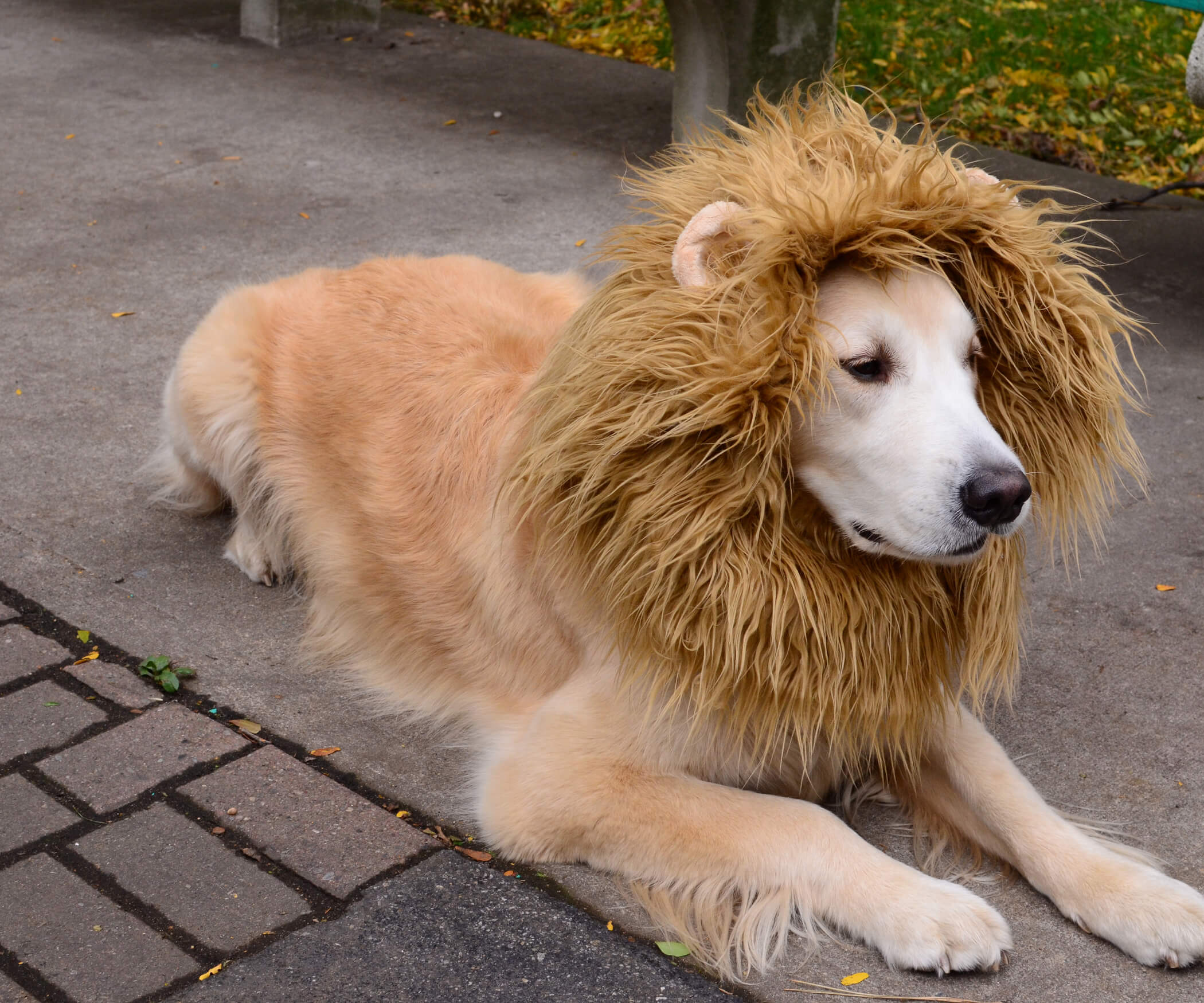 If this dog looks like he doesn't have pride he'd be lion