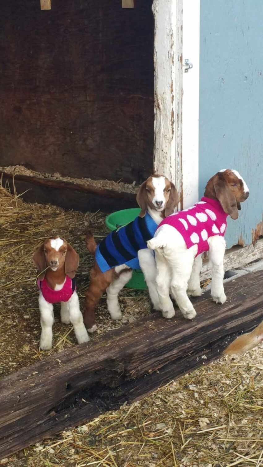 Even goats need to stay warm and comfy.