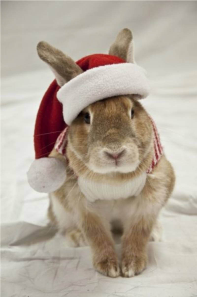 Easter bunny celebrating Christmas.