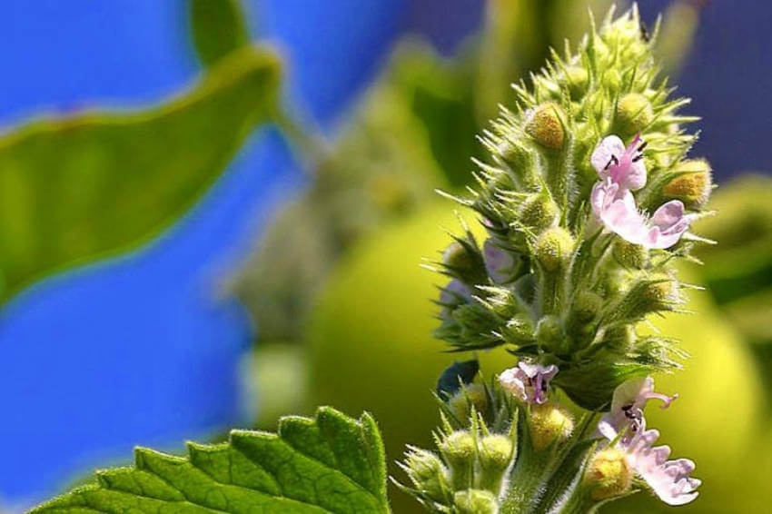 Catnip is a beautiful plant to repel mosquitoes from your garden.