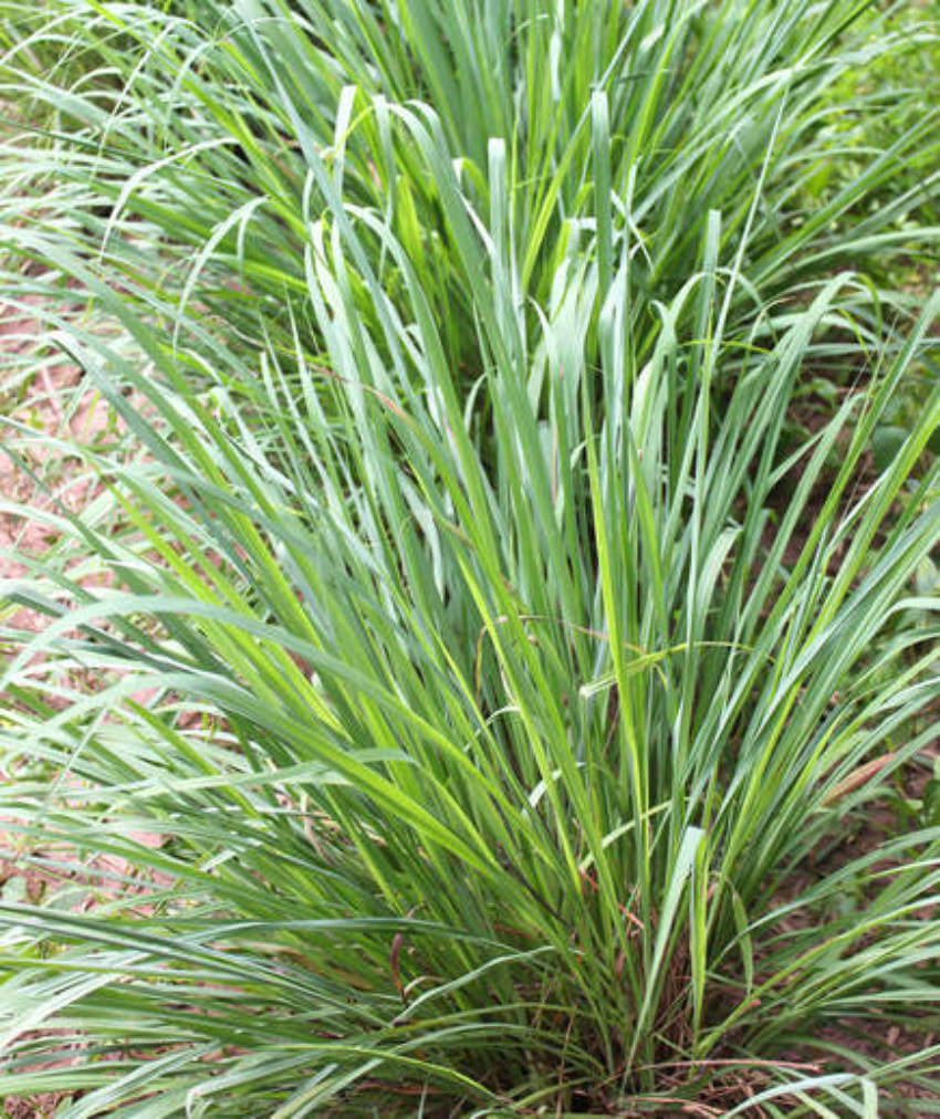 Citronella is simple, but effective.