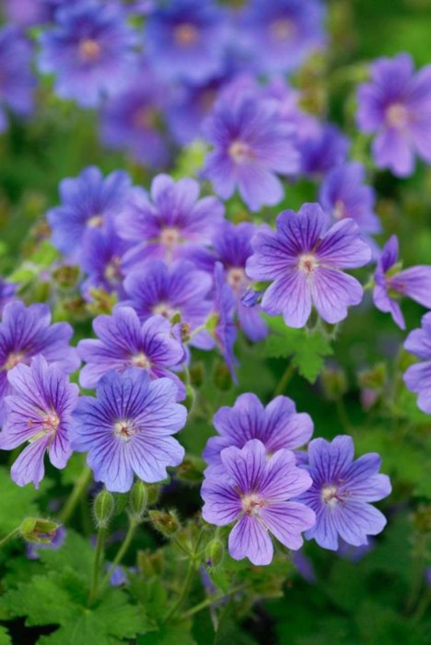 Add a gorgeous look to your backyard with this effective and beautiful plant.