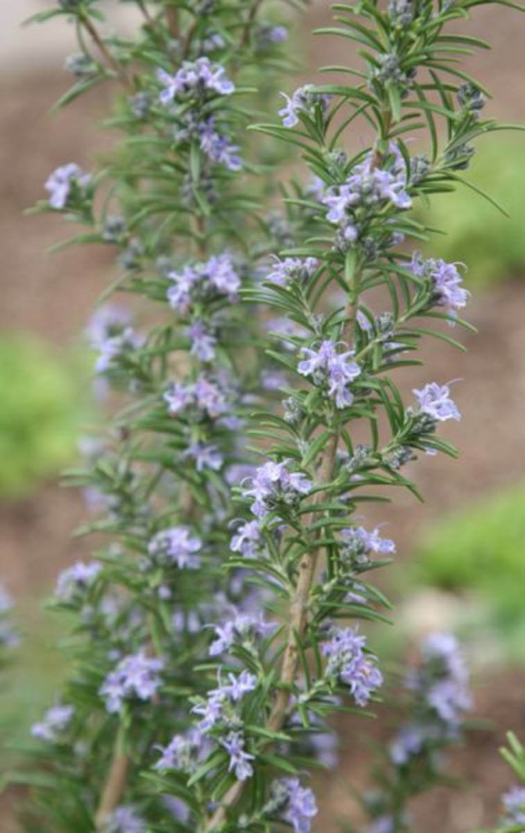 Rosemary is a nice addition to your landscape design.