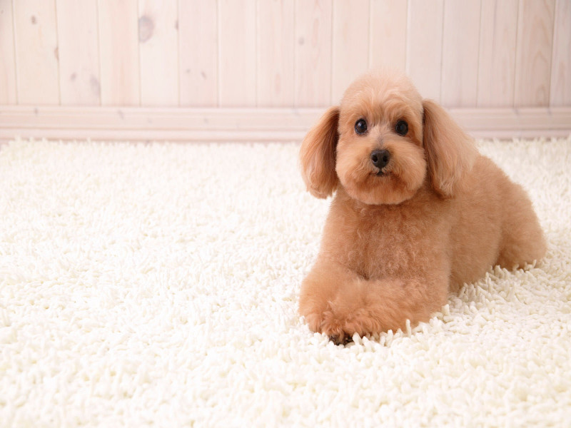 How to Remove Pet Stains and Smells from Carpet