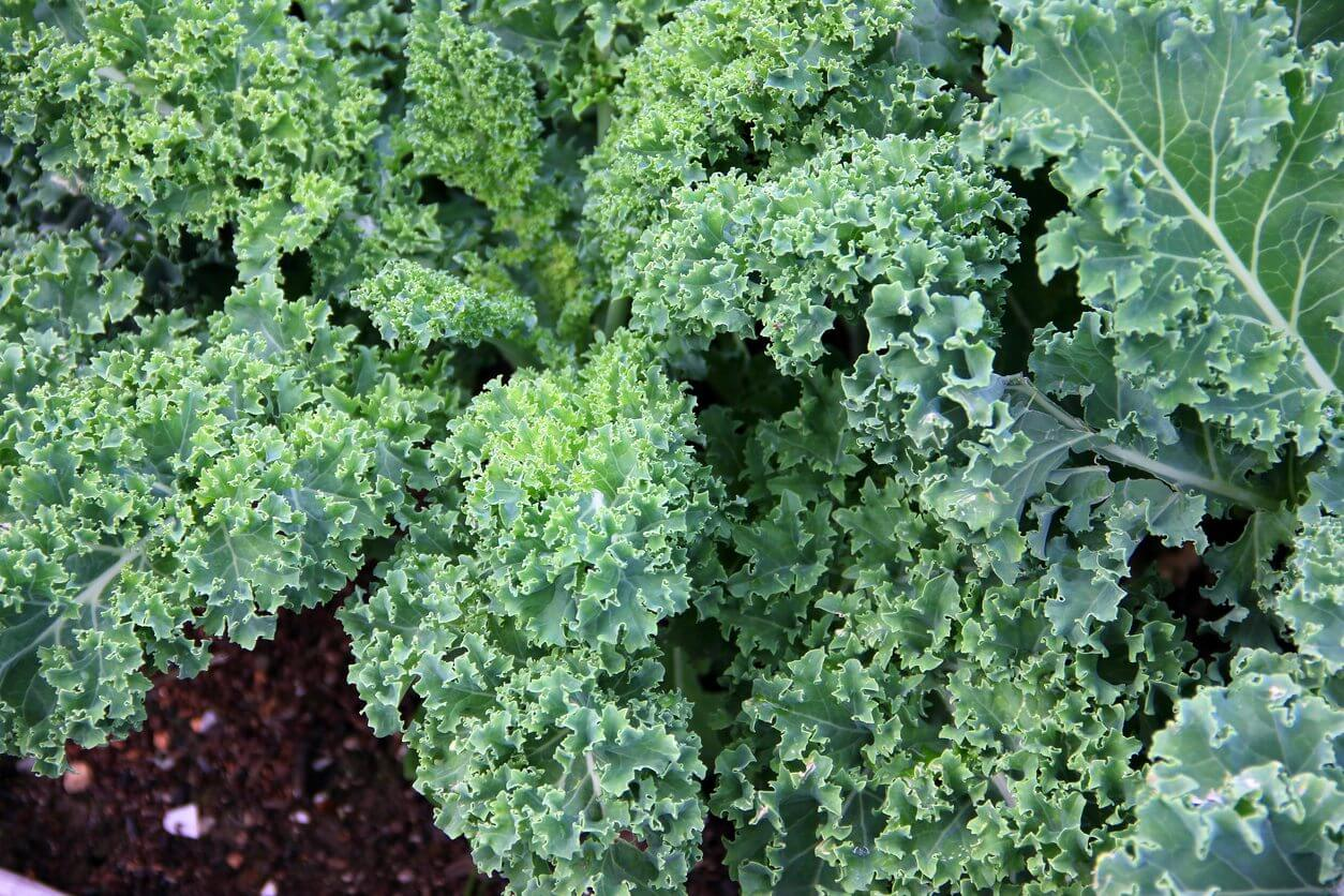 Kale is a health food