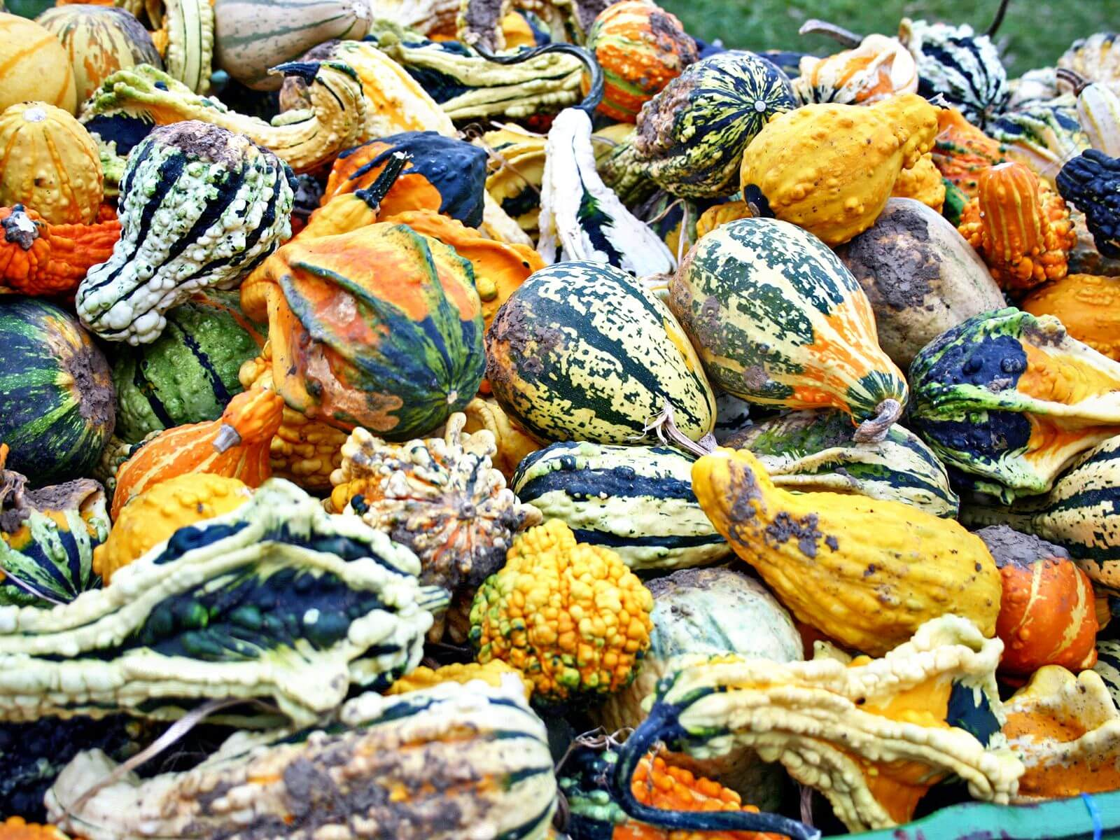 Fresh or cured, gourds can be useful decor for any fall.
