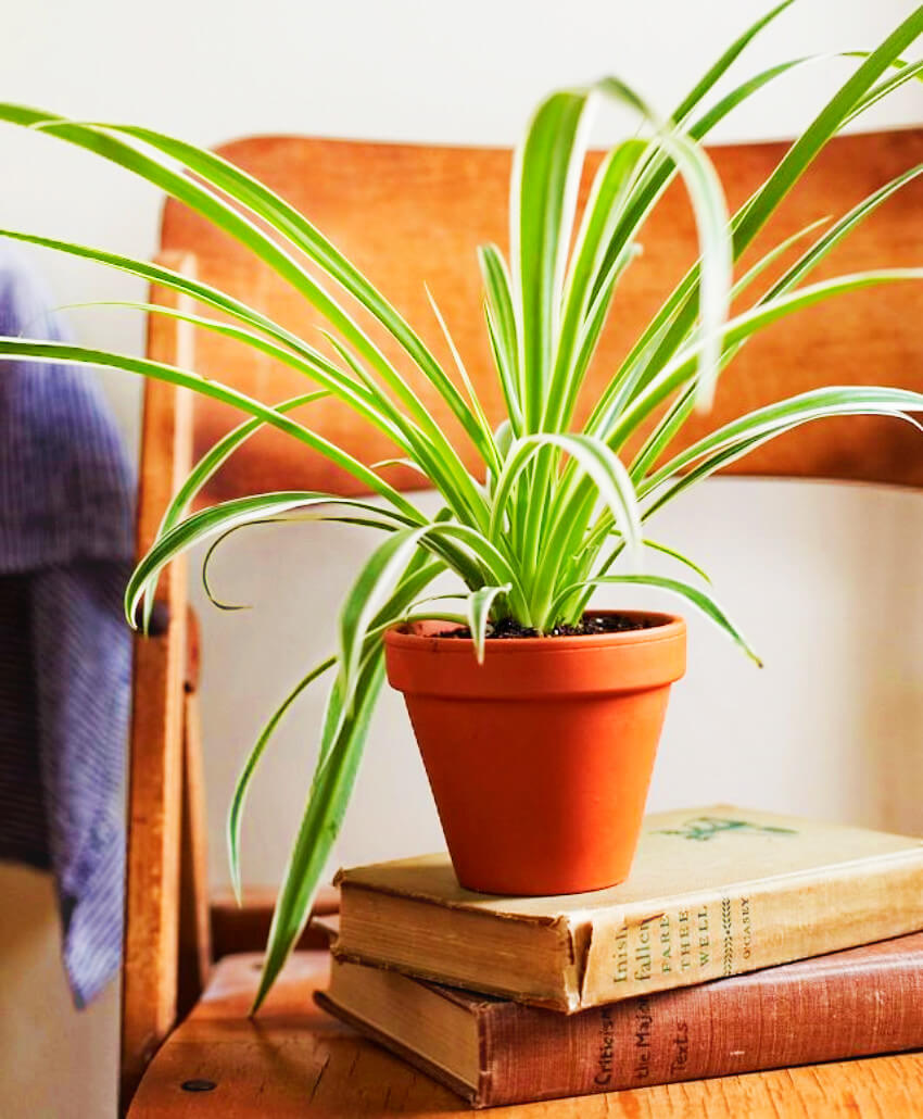 The spider plant is a great way to add some green style to the room!