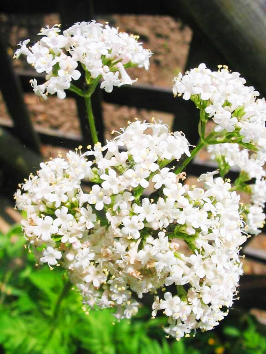 Valerian is a herb full of benefits, including sleep quality improvement!