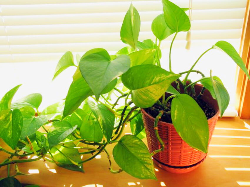 Golden pothos are easy to care for and have an incredible air purifying quality!